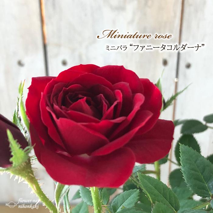卓出 予約販売 賜物 ミニバラ ファニータコルダーナ 3号ポット バラ バラ苗 bry 薔薇 10月下旬以降発送 苗
