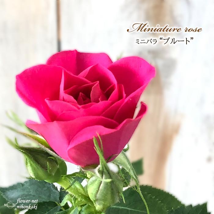 予約販売 ミニバラ ブルート 3号ポット バラ bry 苗 新品 薔薇 10月下旬以降発送 送料込 バラ苗