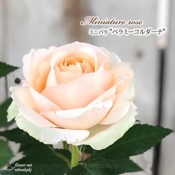 予約販売 ミニバラ ベラミーコルダーナ 3号ポット バラ bry 激安 薔薇 バラ苗 10月下旬以降発送 苗 公式通販
