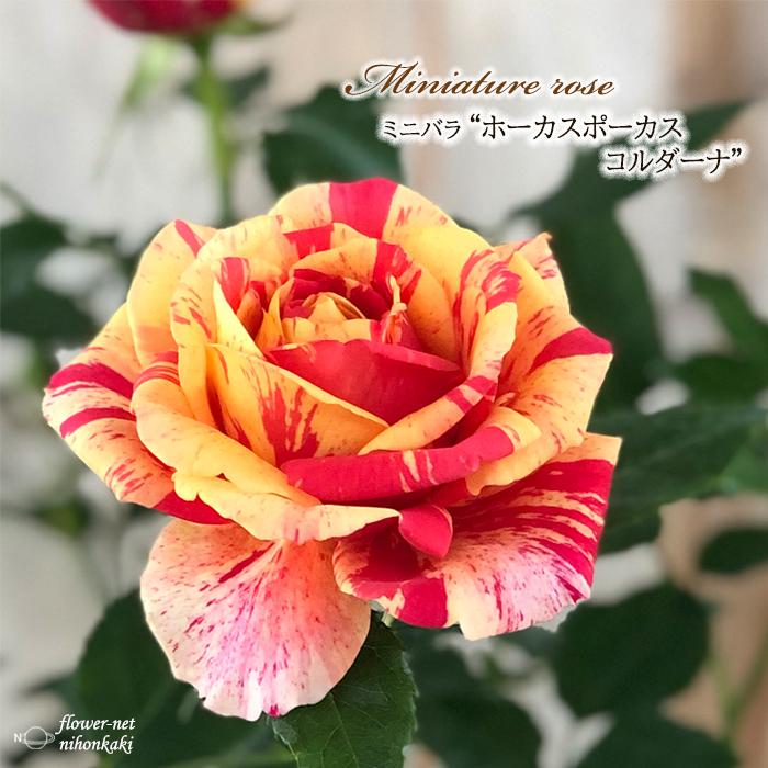 予約販売 ミニバラ 至上 ホーカスポーカスコルダーナ 3号ポット バラ 薔薇 苗 10月下旬以降発送 bry 新着 バラ苗