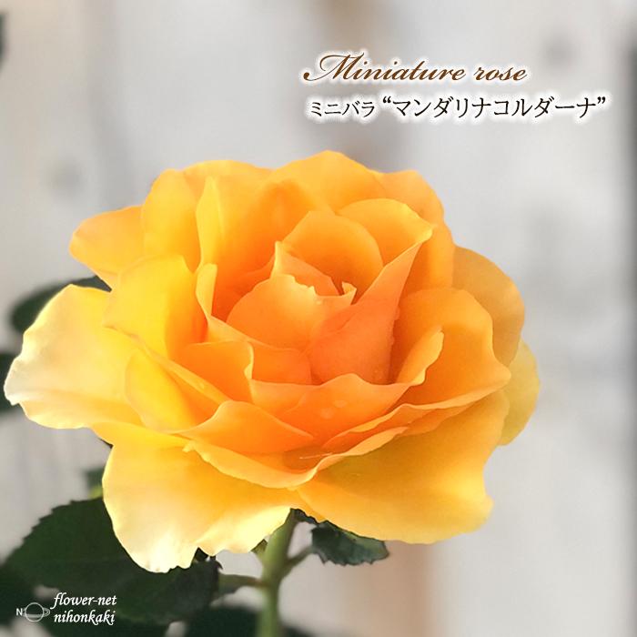 お歳暮 予約販売 ミニバラ マンダリナコルダーナ 3号ポット バラ 10月下旬以降発送 苗 バラ苗 贈物 bry 薔薇