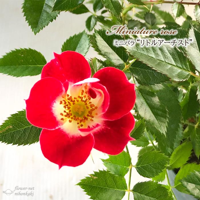 予約販売 ミニバラ リトルアーチスト 3号ポット バラ 苗 贈与 薔薇 数量は多 バラ苗 bry 10月下旬以降発送