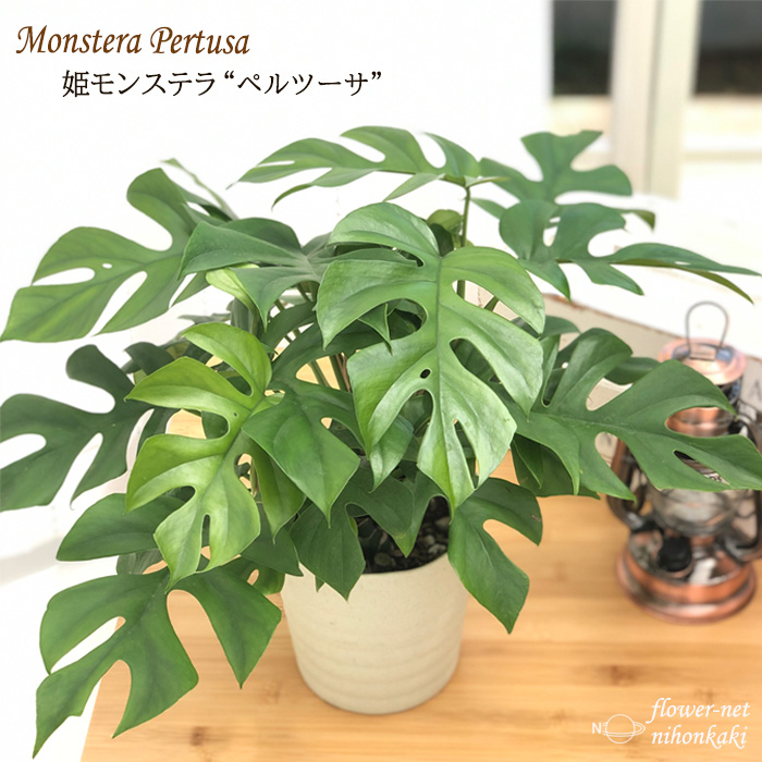 インテリアグリーン 祝日 姫モンステラ ヒメモンステラ ペルツーサ 5号鉢 インテリア おしゃれ 観葉植物 再再販 送料無料