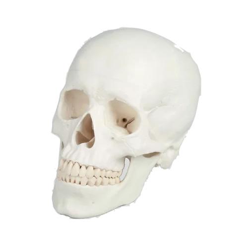 《200円クーポン配布》 頭蓋骨 頭蓋3分解モデル 模型 頭がい骨 骨格模型 教育模型 ガイコツ がい骨 骸骨 骸骨模型