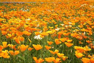 ワイルドフラワー 景観植物のたね「ハナビシソウ(カリフォルニアポピー)」1L 【宅配便対応】