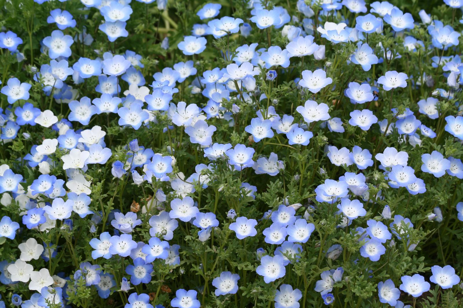 種子 日光種苗 ネモフィラ 新品■送料無料■ 送料無料カード決済可能 インシグニスブルー 10mL入 約4900粒 郵送対応