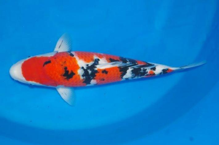 錦鯉観賞魚大正三色54cm
