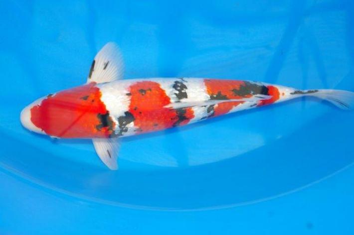 錦鯉観賞魚銀鱗大正三色49cm