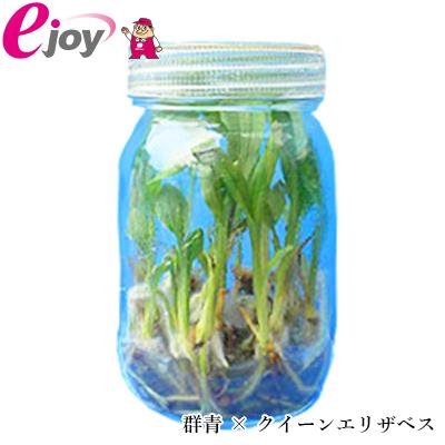 【送料無料】2018エビネラン瓶苗 群青 × クイーンエリザベス