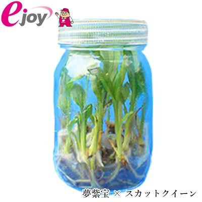 【送料無料】2018エビネラン瓶苗 夢紫宝 × スカットクイーン