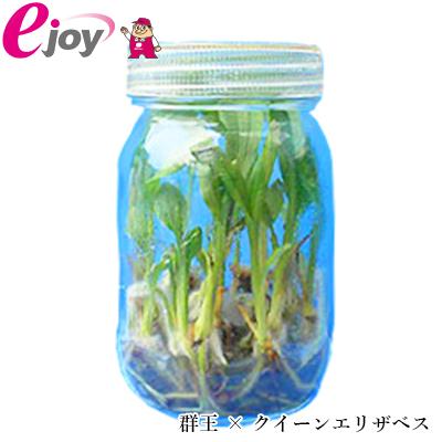 【送料無料】2018エビネラン瓶苗 群王 × クイーンエリザベス