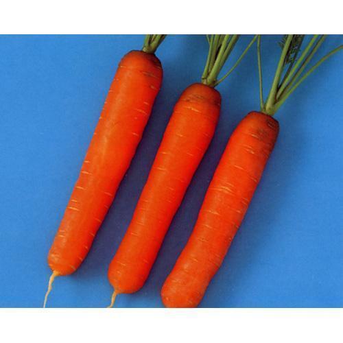 にんじん 種 【 ウインナーキャロット 】 種子 2dl ( 種 野菜 野菜種子 野菜種 )