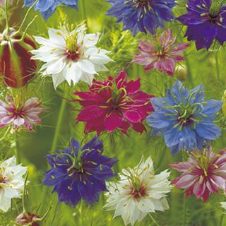 花径4~5cmの紫 青 白 贈り物 桃の混合 ニゲラ ペルシャンジュエル 花の種 小袋 種 ニゲラの種 セール価格