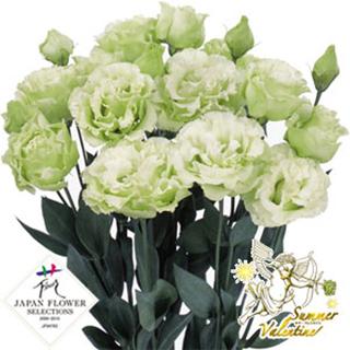 トルコギキョウ 種 【 ボヤージュ(1型) グリーン 】 プライマックスペレット3000粒 ( トルコギキョウの種 花の種 )