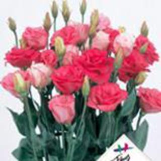 トルコギキョウ 種 【 カルメン ルージュ 】 プライマックスペレット3000粒 ( トルコギキョウの種 花の種 )