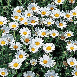 白い花弁に黄色い花芯 クリサンセマム 種 【 ノースポール 】 実咲小袋 ( クリサンセマムの種 花の種 )