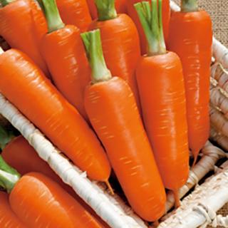 甘くておいしい冬どりニンジン ニンジン 種 オランジェ 野菜種 正規取扱店 ペレット1万粒 野菜 野菜種子 出群