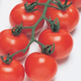 トマト 種 【 フルティカ 】 ペレット1000粒 ( トマトの種 )