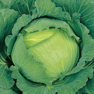 キャベツ 種 【 冬藍 (とうらん) 】 ペレット5000粒 ( 種 野菜 野菜種子 野菜種 )