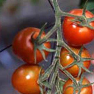 中玉トマト 種 【シンディースイート】 1,000粒 ( 種 野菜 野菜種子 野菜種 )