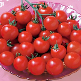 トマト 種 【 CFココ 】 1000粒 ( トマトの種 )