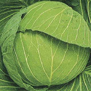 キャベツ 種 【 松波 】 種子 コートL5千粒 ( 種 野菜 野菜種子 野菜種 )