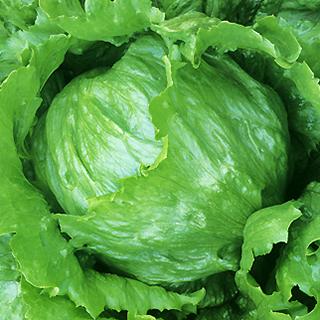 レタス 種 【 レタスファイングリーン 】 種子 コート5千粒 ( 種 野菜 野菜種子 野菜種 )
