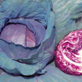 草勢強く つくりやすい良質多収の紫キャベツ キャベツ 種 新品未使用 ペレット5千粒 現金特価 レッドルーキー キャベツの種