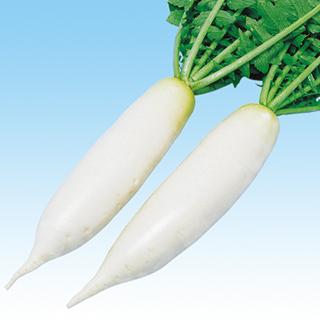 大根 種 【 剣聖 】 種子 2dl ( 種 野菜 野菜種子 野菜種 )