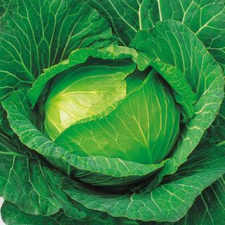 キャベツ 種 【 YR初陣 】 種子 5千粒コートL ( 種 野菜 野菜種子 野菜種 )