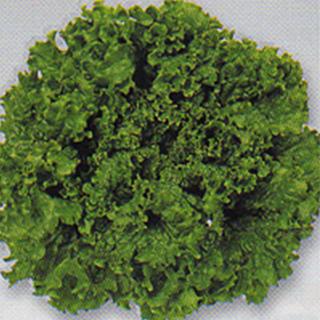 栽培容易で多収なグリーンリーフ メーカー在庫限り品 レタス 種 グリーンウエーブ レタスの種 超人気 ペレット5千粒