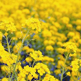 春の訪れを感じさせる花 緑肥 種 買い取り 緑肥の種 贈呈 菜の花 500g