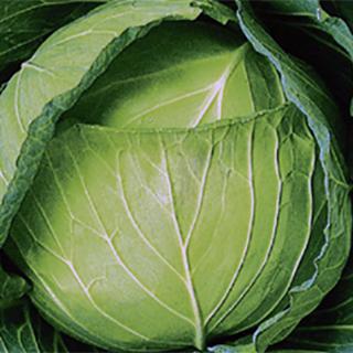 キャベツ 種 【 YRしぶき 】 種子 コートL5千粒 ( 種 野菜 野菜種子 野菜種 )