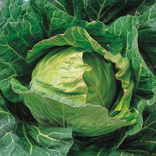 キャベツ 種 【 てるなみ 】 種子 5千粒コートL ( 種 野菜 野菜種子 野菜種 )