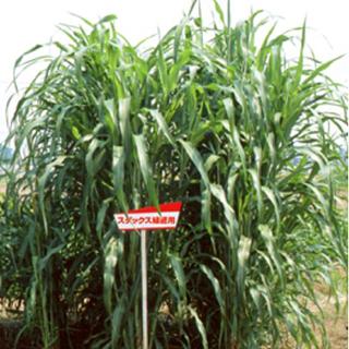 サツマイモネコブセンチュウの密度を抑制 緑肥 種 スダックス ギフト 緑肥の種 緑肥用 1kg サービス