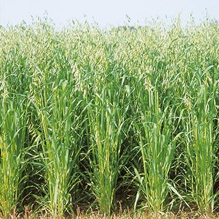 安定出穂 安定多収 緑肥 種 えん麦 スーパーハヤテ隼 数量限定アウトレット最安価格 1kg 通信販売 緑肥の種
