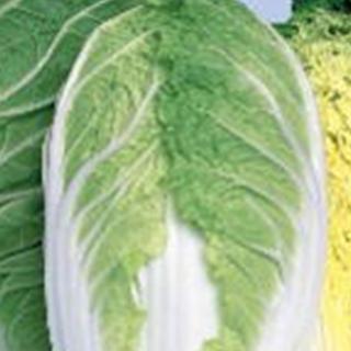 白菜 種 【 めんこい 】 種子 1dl ( 種 野菜 野菜種子 野菜種 )