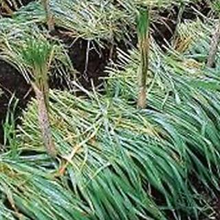晩夏まき 年内利用に好適 緑肥 正規逆輸入品 種 極早生スプリンター 緑肥の種 WEB限定 えん麦 1kg