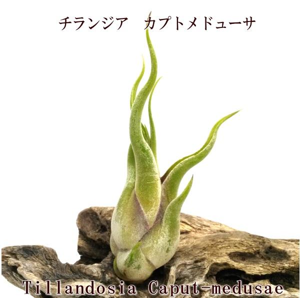 ティランジア チランドシア 観葉 室内 植物 種類 品種 今だけ限定15%OFFクーポン発行中 高級 育て方 販売 葉折れ有 エアプランツ エアープランツ カプトメドューサ 大型商品との同梱不可 チランジア サイズ10~15cm前後 B品特価