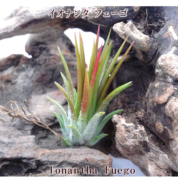 ティランジア チランドシア 観葉 室内 植物 種類 品種 育て方 販売 エアプランツ チランジア イオナンタ フェーゴ(4~5cm前後) エアープランツ
