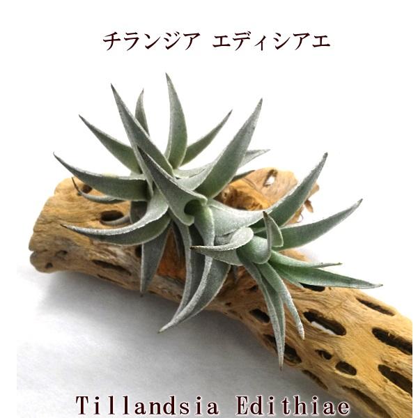 (希少)エアープランツ チランジア エディシアエ L (10cm前後) エアープランツ