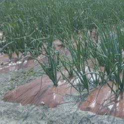 暖々マルチ (原反) 厚さ0.02mmX幅180cmX長さ200m(農業 農業資材 農業用資材 農業用マルチ マルチ 園芸用品 園芸 農業用品 ガーデニング用品 ガーデニンググッズ ガーデニング資材 日本農業システム アイアグリ)