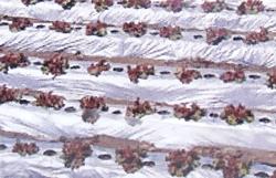国産オリジナル シルバーマルチ 厚さ0.02mm×幅150cm×長さ200m 3本セット直送品(農業 農業資材 農業用資材 農業用マルチ マルチ 園芸用品 園芸 農業用品 ガーデニング用品 ガーデニンググッズ ガーデニング資材 日本農業システム アイアグリ)