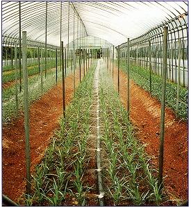 スミホース 50m巻*2本セット 住化農業資材