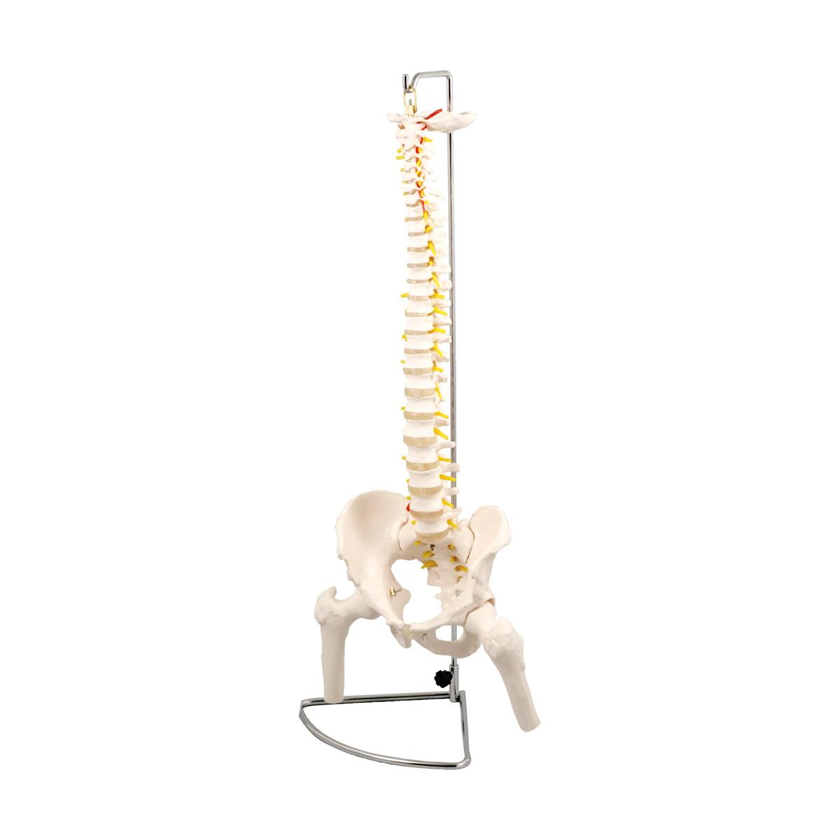 Artec(アーテック) 脊柱模型 大腿骨付 #9710【送料無料】