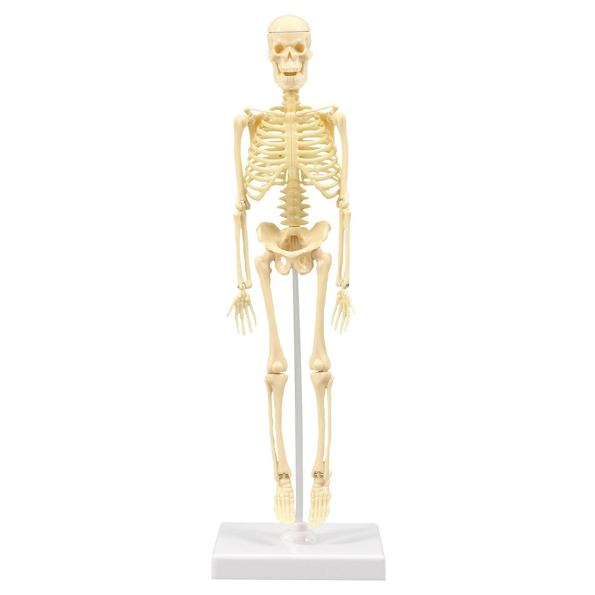 Artec(アーテック) 人体骨格模型 30cm学習セット(ケース入) #93609【送料無料】