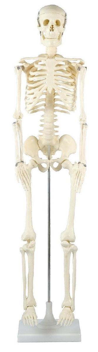 △人体骨格模型 85cm