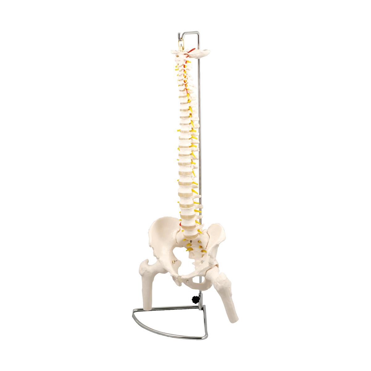 ●脊柱模型 大腿骨付