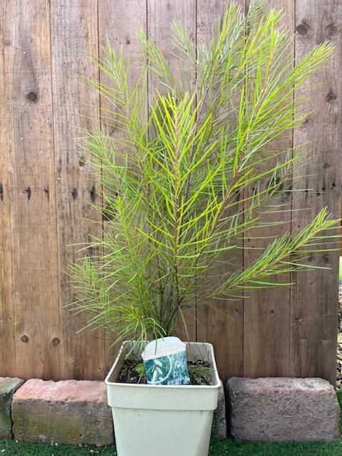 常緑樹 ガーデニング用 アカシア 国産品 新着 フロリバンダ 7号鉢
