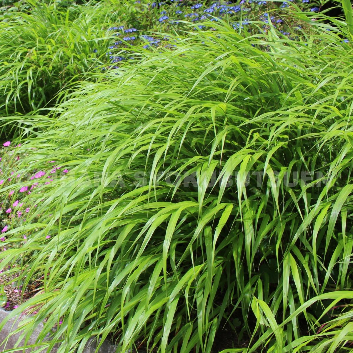 メーカー再生品 セール商品 緑葉フウチ草